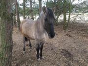 Hengst Pferd 2 Jahre