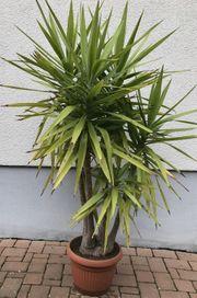 Große Yucca Palme Solitärpflanze 5