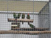Zuchtpaar Rotkopfsittiche mit 5 Jungtieren