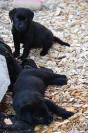 Labrador zu verkaufen