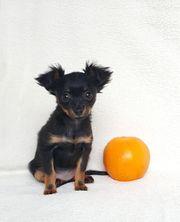 Traumhafte Russkiy Toy Terrier Mini