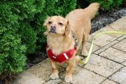Lina Kokoni Golden Retriever Chihuahua