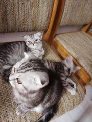 Scottish Fold BKH Kitten abgabebereit
