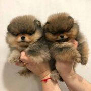 Süßen Zwergspitz Pomeranian welpen