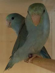 Blaugenick Sperlingspapageien Türkis Paar