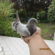 Zahme Taube zugeflogen