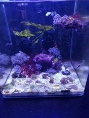 Meerwasser Algen Salzwasser Ableger Korallenableger