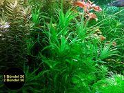 Seegrasblättriges Trugkölbchen Aquarienpflanzen RARITÄT Versand