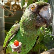 Papagei Grüner Kongopapagei Hahn Willi