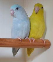 Harmonisches Blaugenick Sperlingspapageien Paar