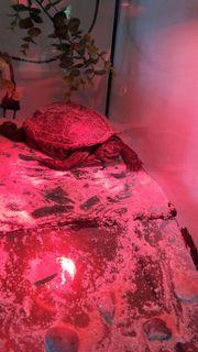 chinesische Dreikielschildkröte Weibchen ca 14