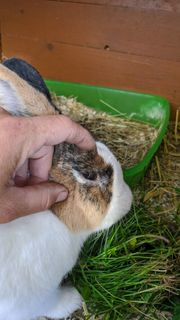 Lieber Kaninchen Rammler Holländer japanerfarben