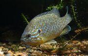 teichfische sonnenbarsch