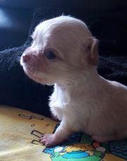 Chihuahua Welpen alle sind vorläufig
