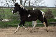 Paint Horse Wallach - 3jährig - Blickfang -