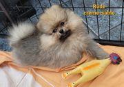 Zwergspitz Pomeranian Welpen suchen tolles
