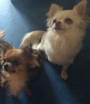 2 Chihuahua suchen ein neues