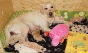 6 Labrador Welpen mit 12