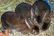 Kaninchen Kastraten Hasen Rammler
