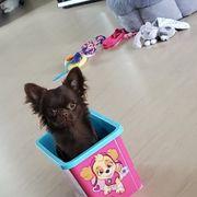 Chihuahua Junghund mit Ahnentafel FCI