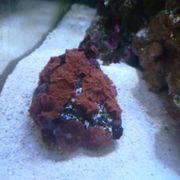 Meerwasser Rote Scheibenanemone