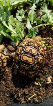 stigmochelys Pardalis Somalia Äthiopien somalica
