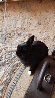 Zwergkaninchen Kaninchen