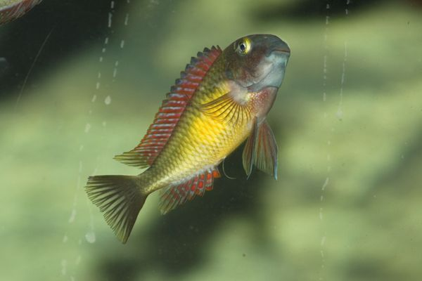 Tropheus Moorii Red Rainbow F1