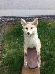 Fuchs Präparat mit Tablett