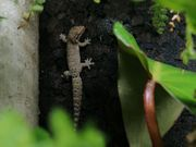 Lepidodactylus lugubris Jungferngeckos