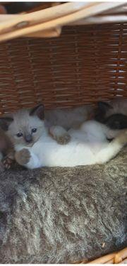 Thai siam Kätzchen