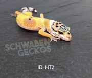 Leopardgeckos Zorro Bandit Designer Hypo