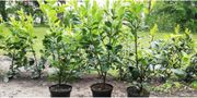 Kirschlorbeerpflanzen