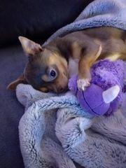 Wunderschöner Chihuahua Lilac Tan Rüde
