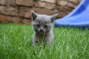 Britisch Kurzhaar Kitten-BKH Kitten