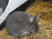 Junge Kaninchen 12 13 Wo