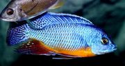 Malawi Barsch Steveni Eastern Aquarium