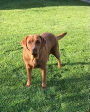 4-jährige Labradorhündin sucht neue Familie