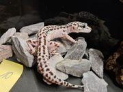 Leopardgecko NZ2020