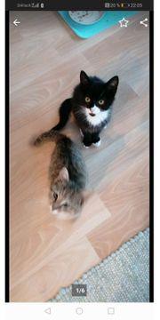 Geschwister Tigerkatzenbaby 14 Wochen alt