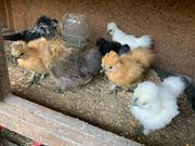 Zwergseidenhühner 8 Wochen alt