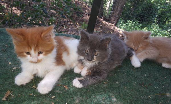 Verschmuste Maine Coon Kitten-XL-reinrassig