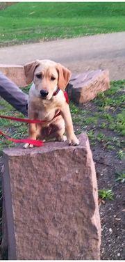 Labrador-Mix-Welpen