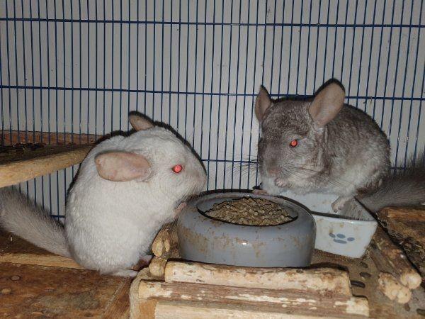 2 Chinchilla Weibchen 4 Jahre