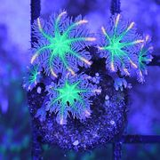 Clavularia tricolor Korallen Ableger Meerwasser