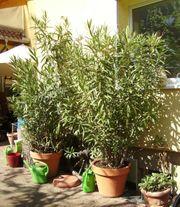 2 Große Oleander zu verkaufen