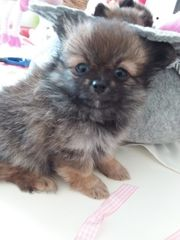Wunderschöne kleine Pomchi Babys - Pomeranian