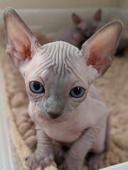 Sphynx kitten weichen suche
