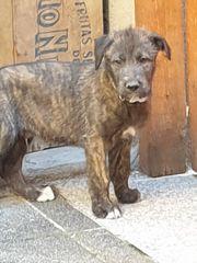 Irish Wolfhound Irischer Wolshund Welpen