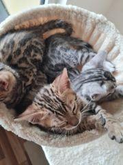 2 Bengal Kitten zu verkaufen